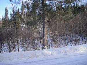 Squirrel evades Lynx