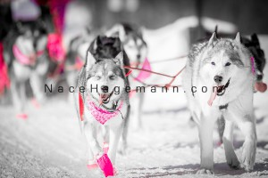 2014 Mush for a Cure