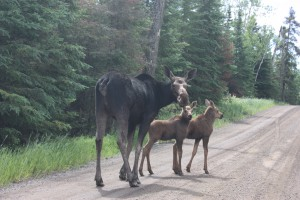 Moose on the Gunflint Trail