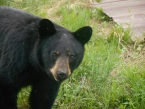 Black Bear at Voyageur