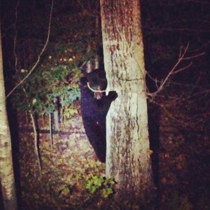 black bear hanging around