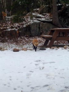 Red Fox on the Gunflint Trail