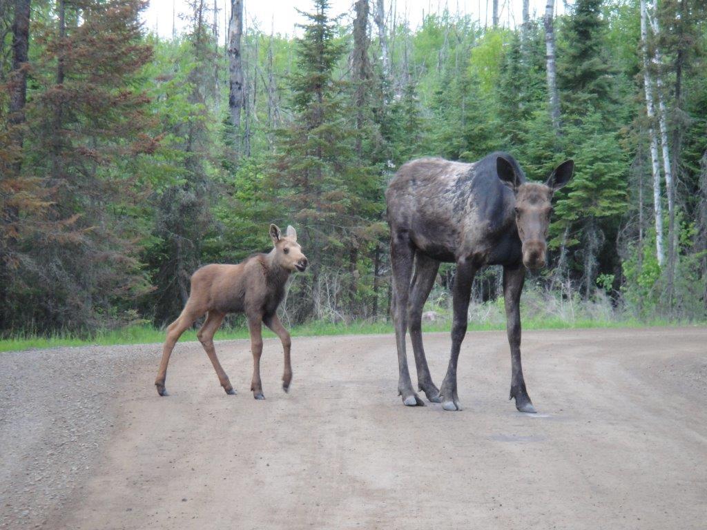 Moose in Minnesota