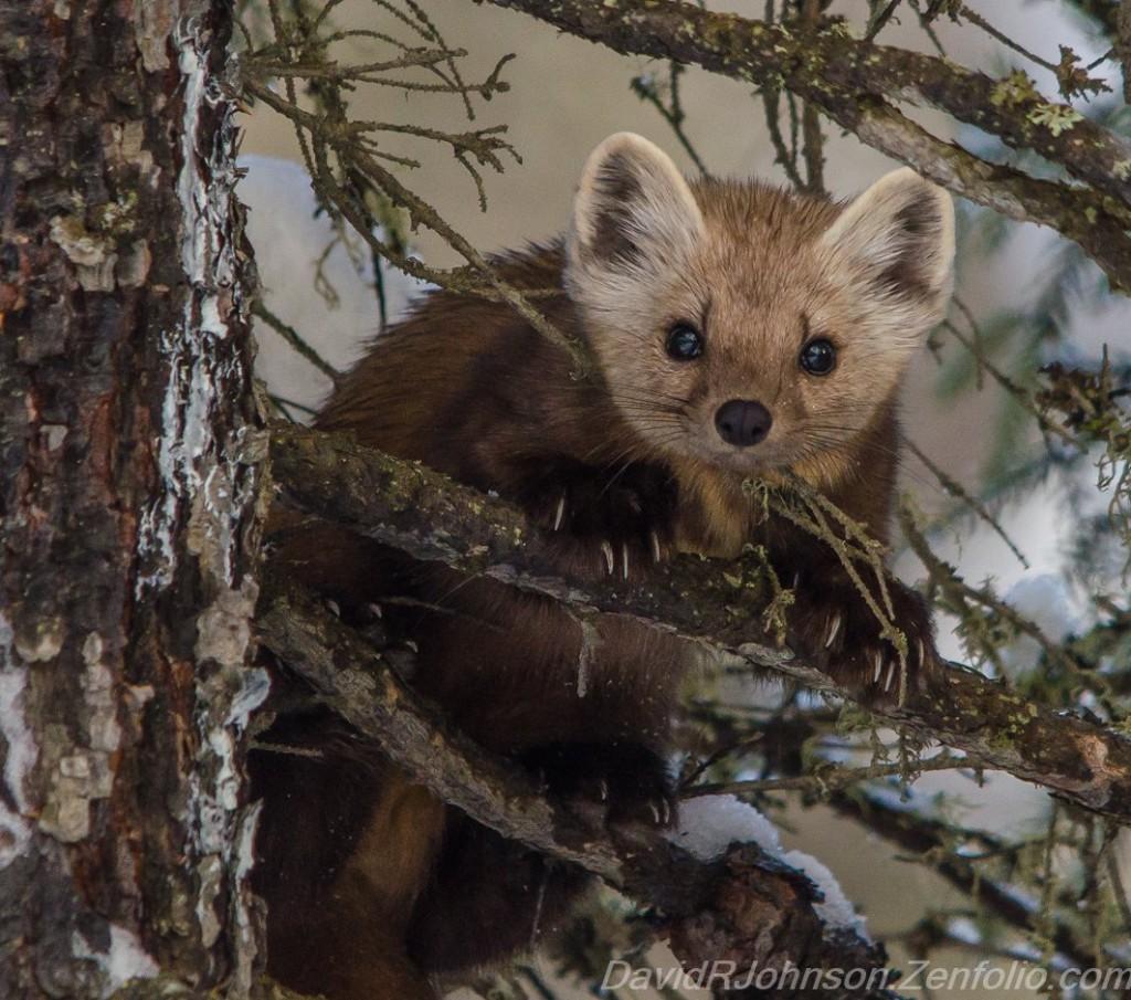 Groundhog? Nope Pine Marten