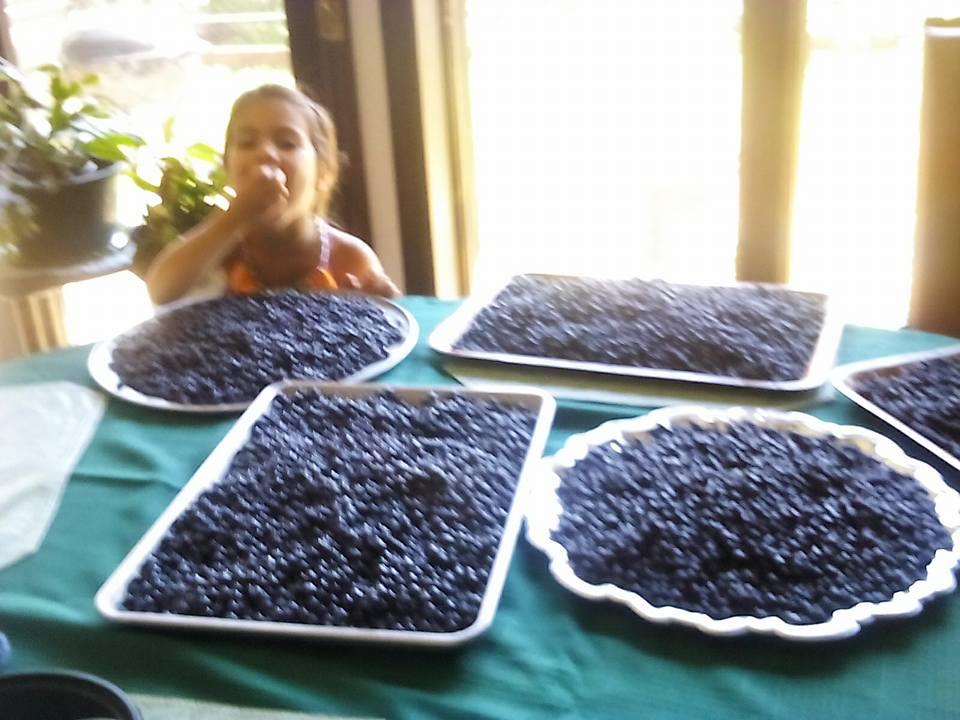Gunflint Trail blueberry picking