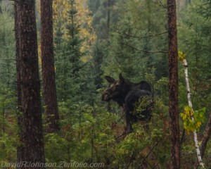 moose gunflint trail