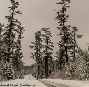 Beautiful pine trees on the Gunflint Trail