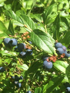 Gunflint Trail blueberries