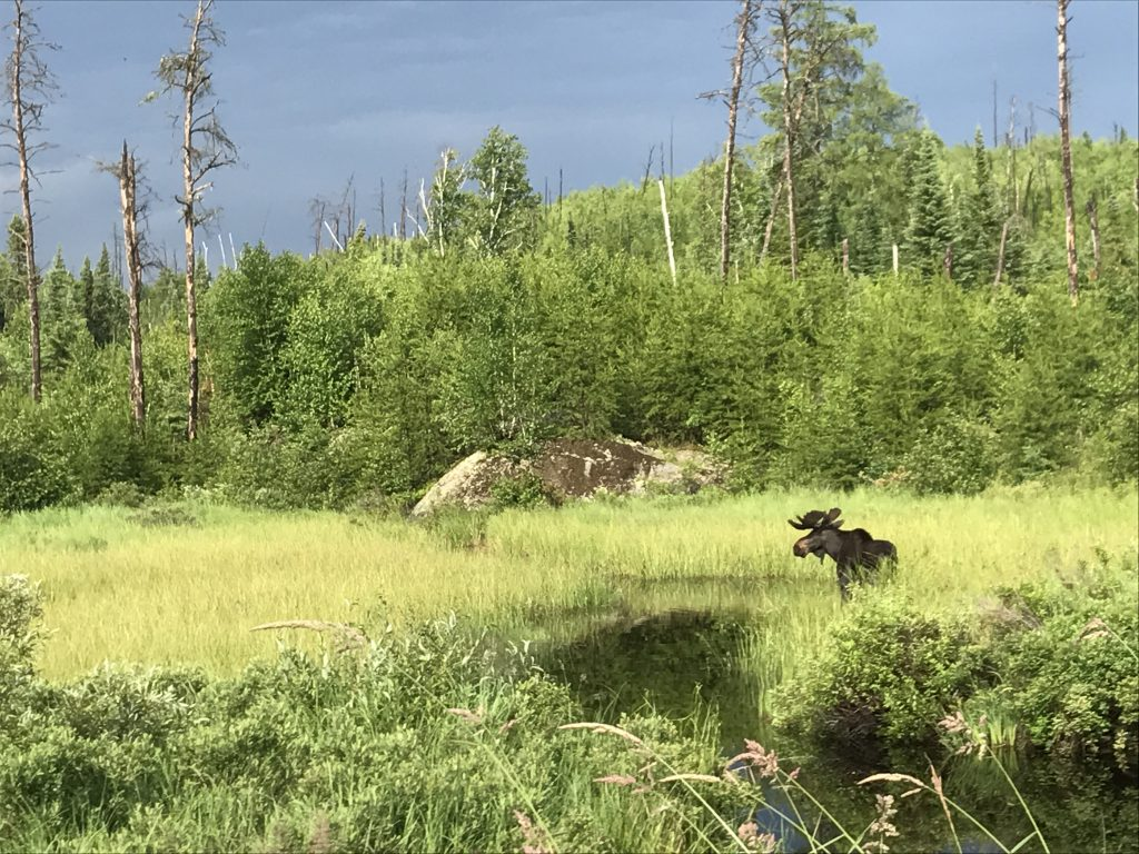 gunflint moose