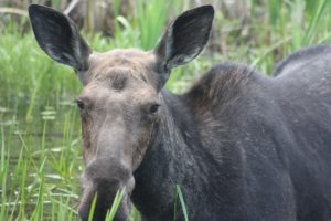 moose in the BWCA