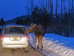 moose sized salt lick