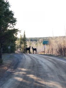Gunflint Trail moose