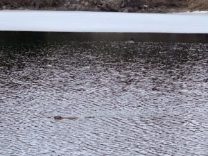 beaver and loon swimming