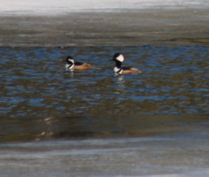 Hooded mergansers on seagull river