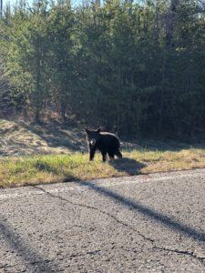 bwca black bear